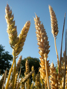 Wheat by Dag Terje Filip Endresen_CC BY 2.0
